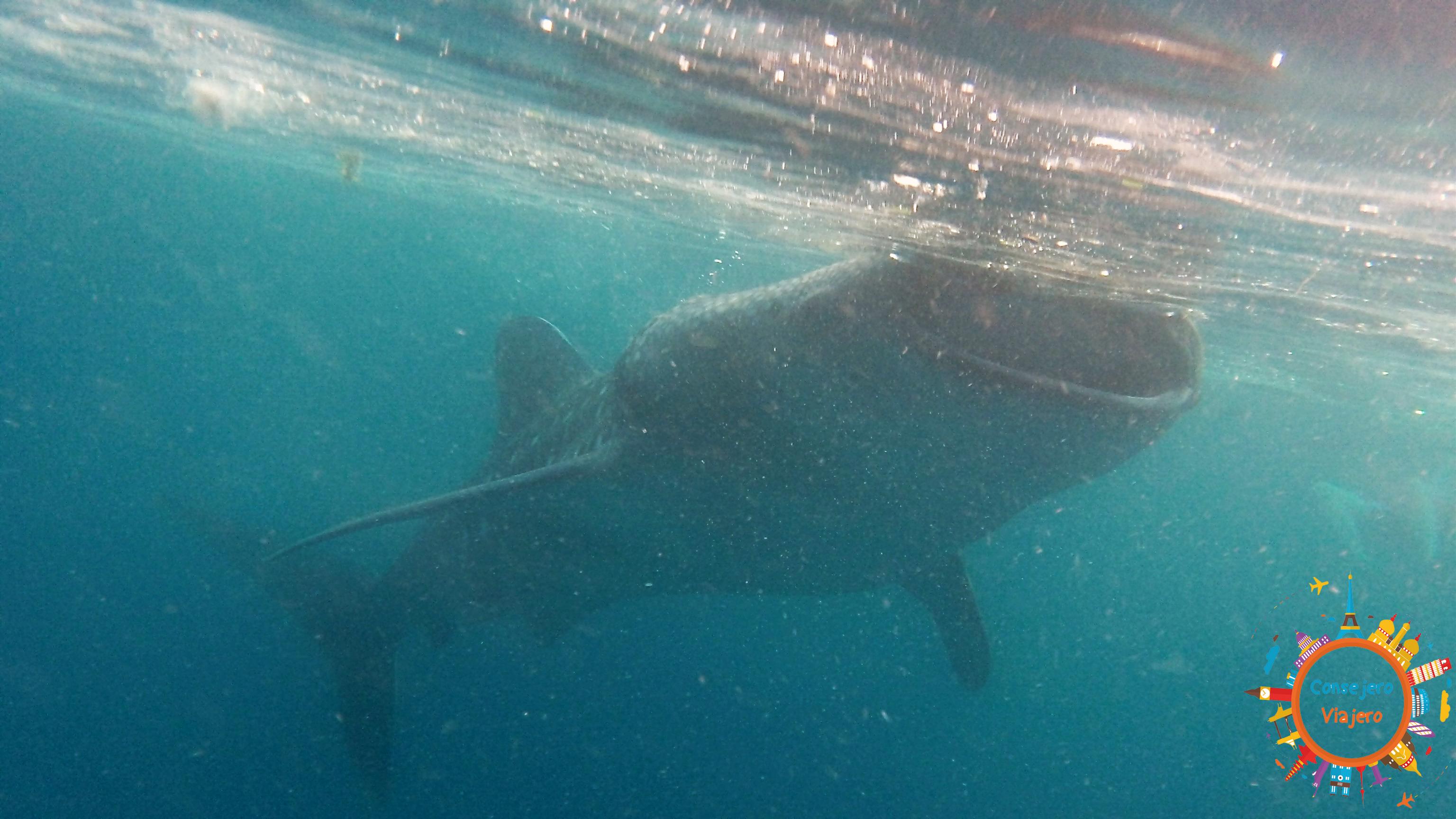 tiburón ballena Oslob