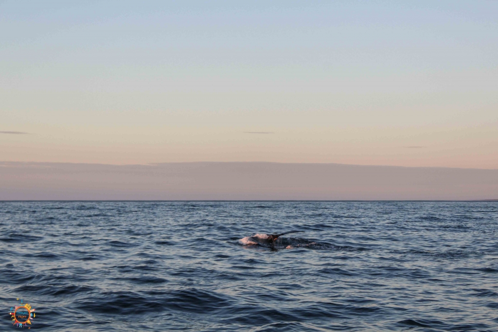 ballenas husavik