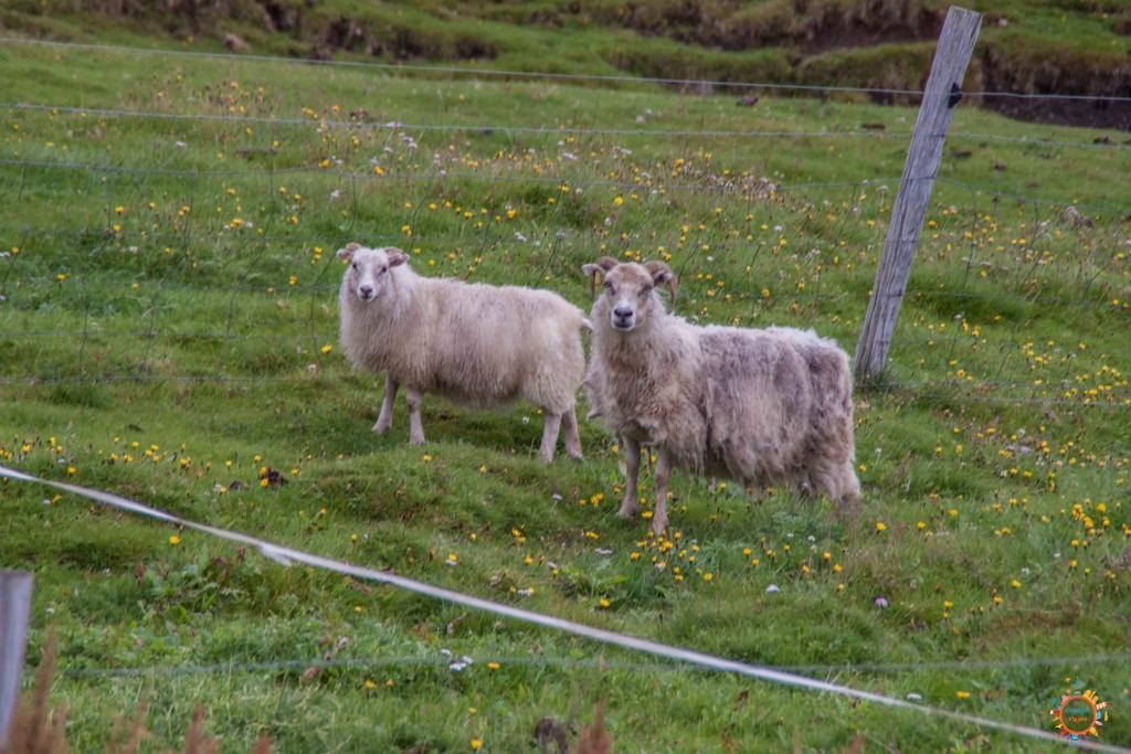 iceland lamb